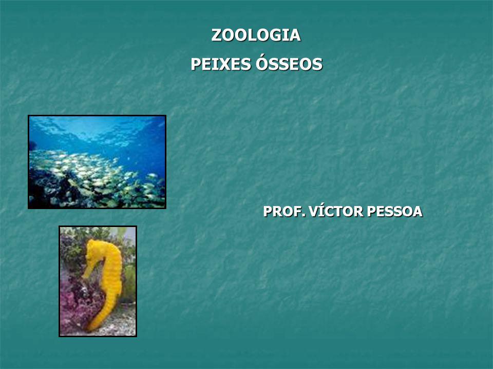 PEIXES ÓSSEOS (OSTEÍCTES) Peixes dotados de esqueleto ósseo Reunidos na classe Actinopterygii (+ de 20 mil espécies descritas) OBSERVAÇÃO.