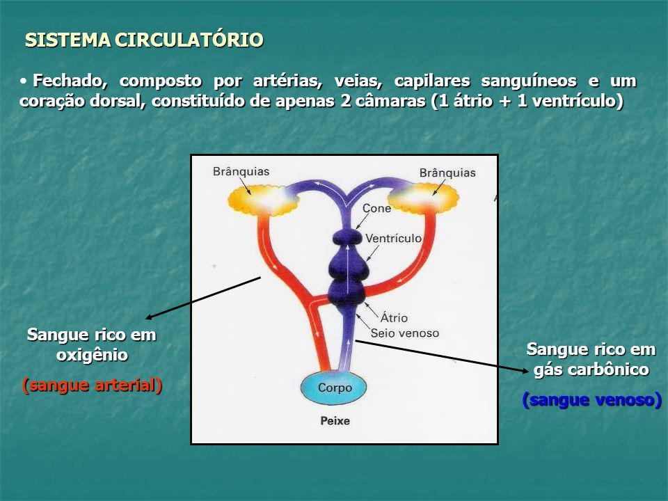 SISTEMA CIRCULATÓRIO Fechado, composto por artérias, veias, capilares sanguíneos e um coração dorsal, constituído de apenas 2 câmaras (1 átrio + 1 ven