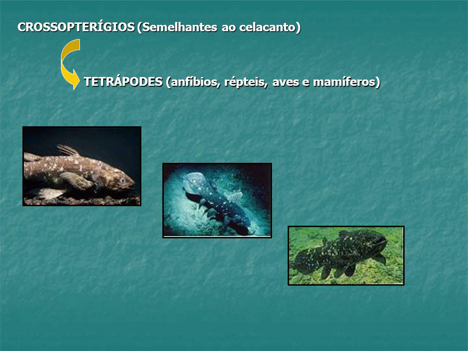 CROSSOPTERÍGIOS (Semelhantes ao celacanto) TETRÁPODES (anfíbios, répteis, aves e mamíferos)