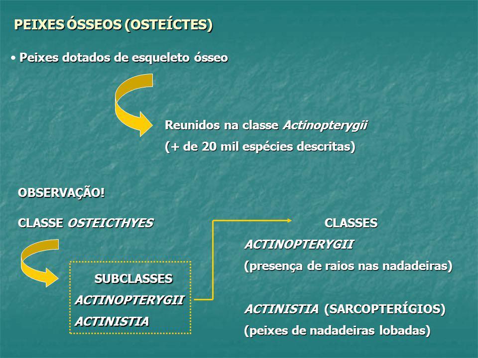 ACTINOPTERYGII (ACTINOPTERÍGIOS) Peixes cujo esqueleto é formado basicamente por ossos, daí a denominação de peixes ósseos; Suas brânquias (guelras) não se abrem diretamente no ambiente, como nos agnatos e condríctes, mas são recobertas por uma placa móvel denominada OPÉRCULO.