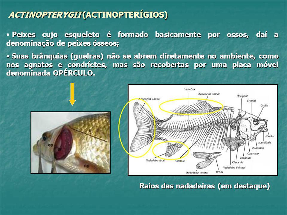 ACTINOPTERYGII (ACTINOPTERÍGIOS) Peixes cujo esqueleto é formado basicamente por ossos, daí a denominação de peixes ósseos; Suas brânquias (guelras) n
