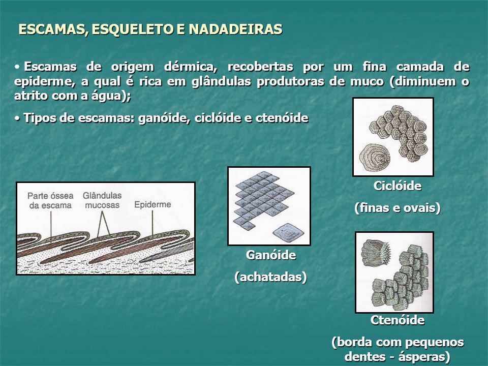 ANCESTRAL (PLACODERMO) PEIXES ÓSSEOS E PEIXES CARTILAGINOSOS (Mar) (Água doce – mar) PEIXES COM NADADEIRAS RADIAIS (ACTINOPTERÍGIOS) PEIXES COM NADADEIRAS LOBADAS (CROSSOPTERÍGIOS OU SARCOPTERÍGIOS) PEIXES PULMONADOS (DIPNÓICOS) Evoluíram em ambientes de água doce (possivelmente pobre em gás oxigênio) e continuaram a utilizar seu pulmão primitivo como órgão acessório às brânquias.