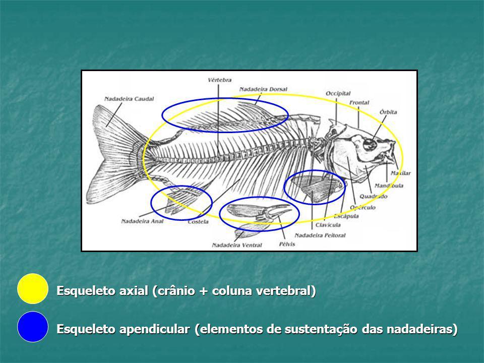 Esqueleto axial (crânio + coluna vertebral) Esqueleto apendicular (elementos de sustentação das nadadeiras)