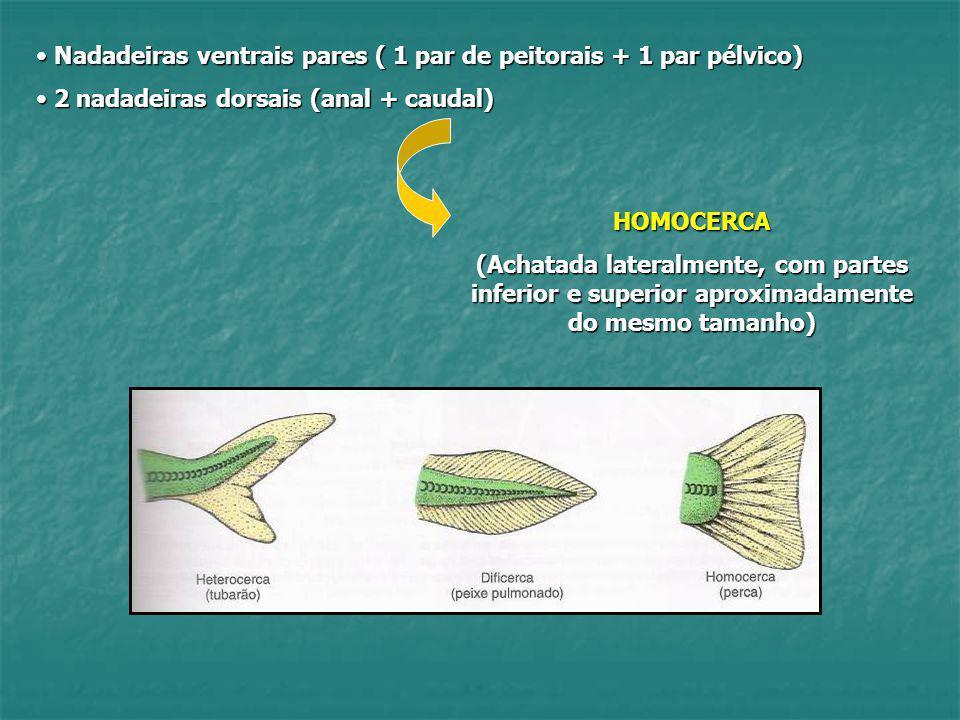 Nadadeiras ventrais pares ( 1 par de peitorais + 1 par pélvico) Nadadeiras ventrais pares ( 1 par de peitorais + 1 par pélvico) 2 nadadeiras dorsais (