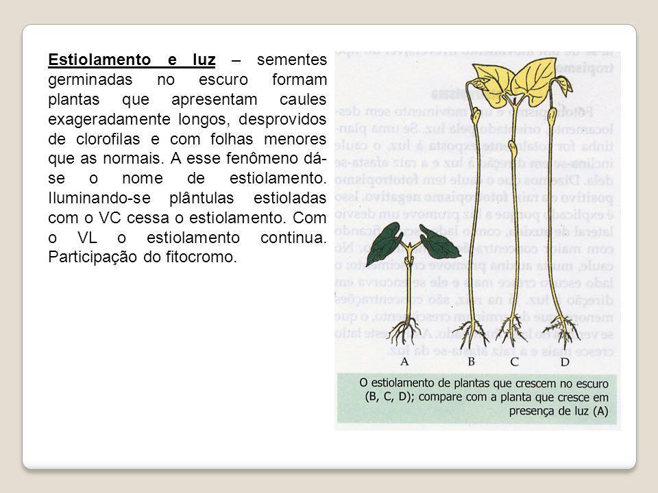 Estiolamento e luz – sementes germinadas no escuro formam plantas que apresentam caules exageradamente longos, desprovidos de clorofilas e com folhas