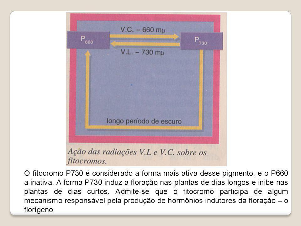 O fitocromo P730 é considerado a forma mais ativa desse pigmento, e o P660 a inativa. A forma P730 induz a floração nas plantas de dias longos e inibe