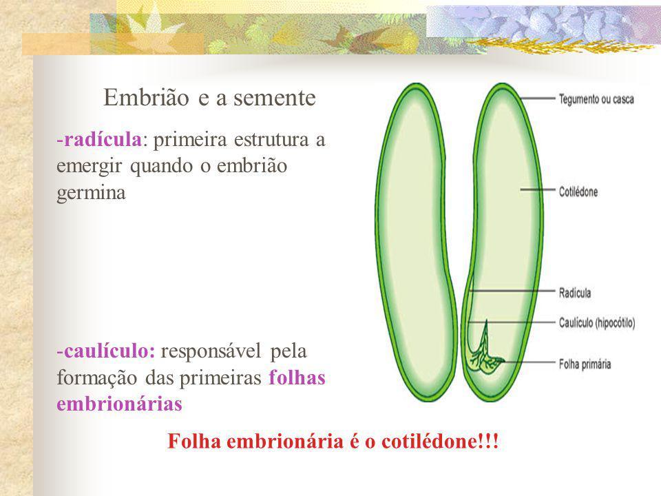 Embrião e a semente -radícula: primeira estrutura a emergir quando o embrião germina -caulículo: responsável pela formação das primeiras folhas embrio