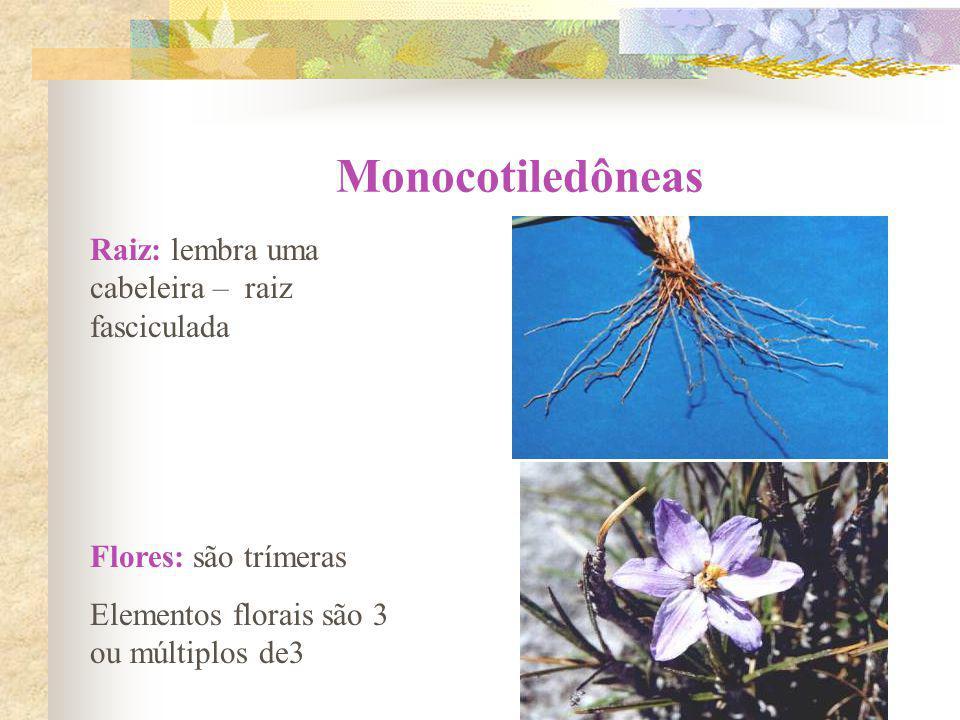 Raiz: lembra uma cabeleira – raiz fasciculada Flores: são trímeras Elementos florais são 3 ou múltiplos de3