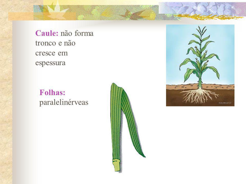 Caule: não forma tronco e não cresce em espessura Folhas: paralelinérveas