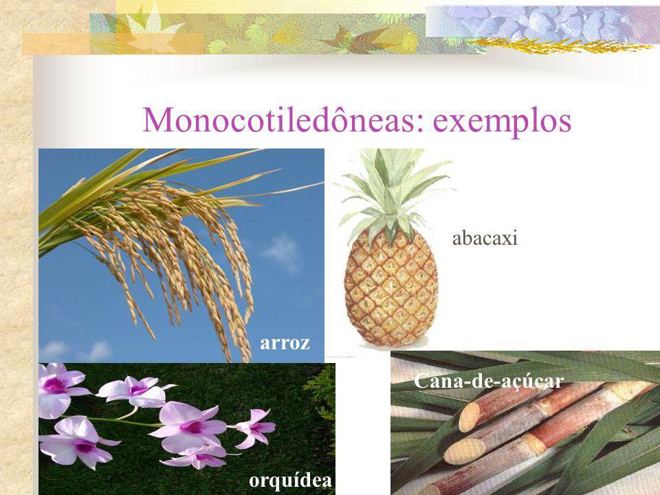 Monocotiledôneas: exemplos arroz abacaxi orquídea Cana-de-açúcar