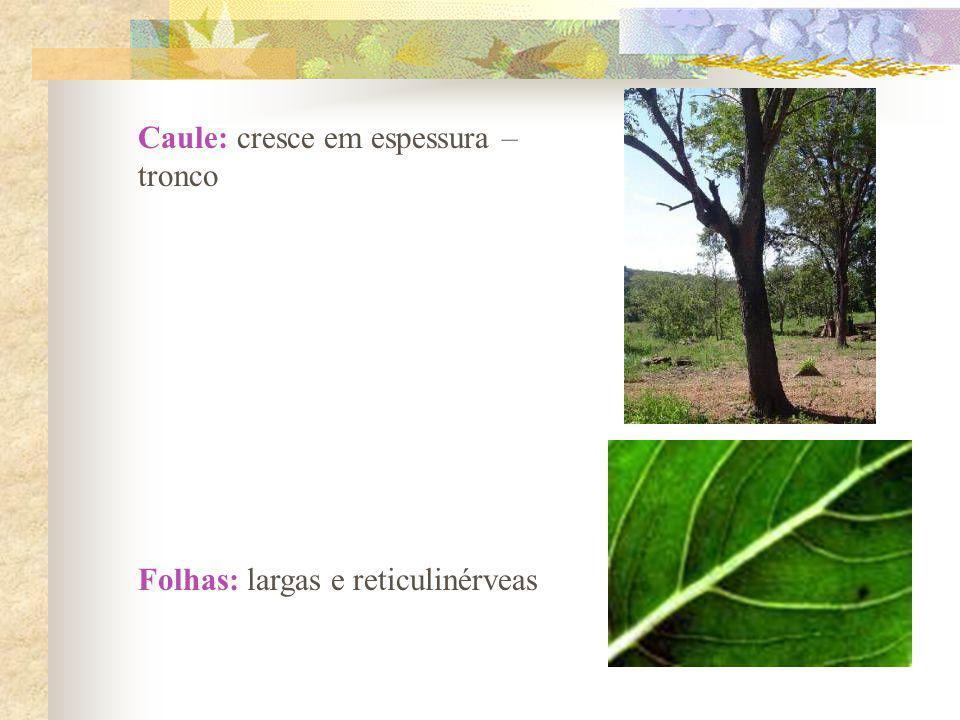 Caule: cresce em espessura – tronco Folhas: largas e reticulinérveas