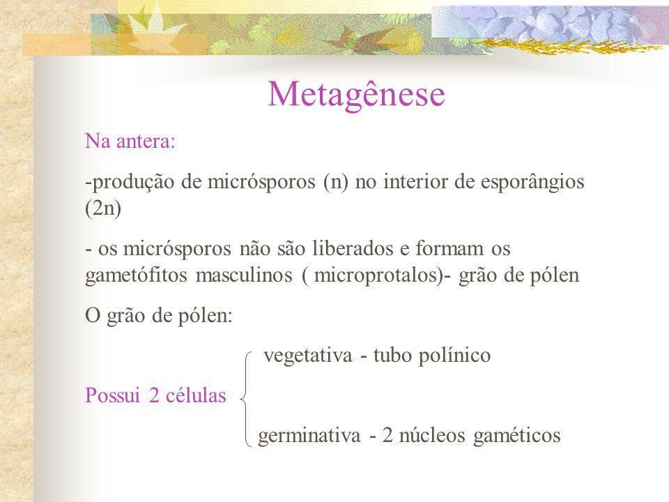 Metagênese Na antera: -produção de micrósporos (n) no interior de esporângios (2n) - os micrósporos não são liberados e formam os gametófitos masculin