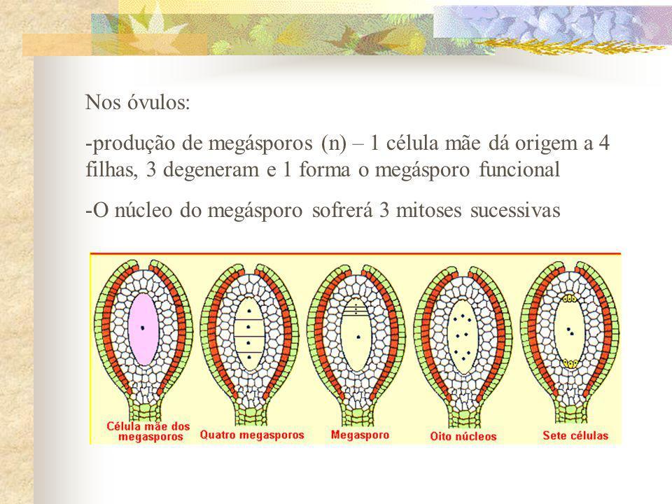 Nos óvulos: -produção de megásporos (n) – 1 célula mãe dá origem a 4 filhas, 3 degeneram e 1 forma o megásporo funcional -O núcleo do megásporo sofrer