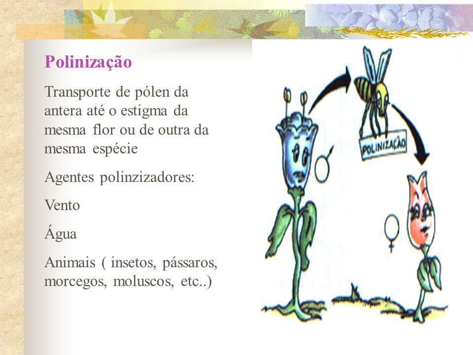 Polinização Transporte de pólen da antera até o estigma da mesma flor ou de outra da mesma espécie Agentes polinzizadores: Vento Água Animais ( inseto