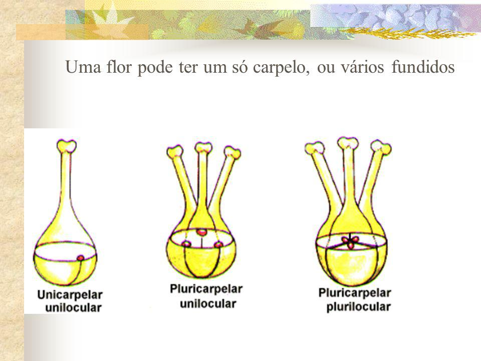 Uma flor pode ter um só carpelo, ou vários fundidos