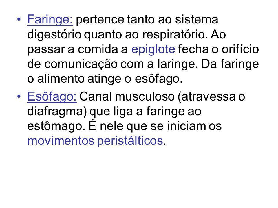 Faringe: pertence tanto ao sistema digestório quanto ao respiratório. Ao passar a comida a epiglote fecha o orifício de comunicação com a laringe. Da