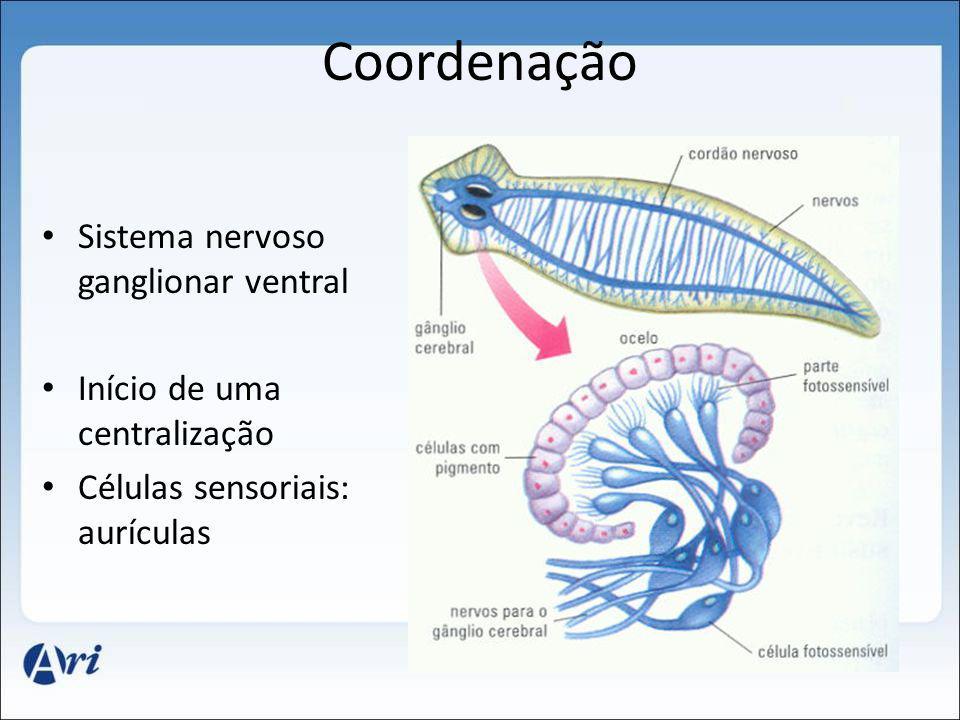 Coordenação Sistema nervoso ganglionar ventral Início de uma centralização Células sensoriais: aurículas
