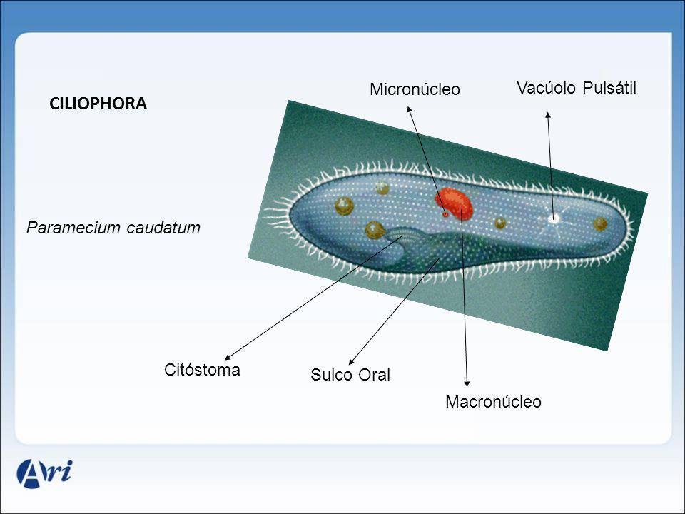 CILIOPHORA Paramecium caudatum Citóstoma Sulco Oral Macronúcleo Micronúcleo Vacúolo Pulsátil