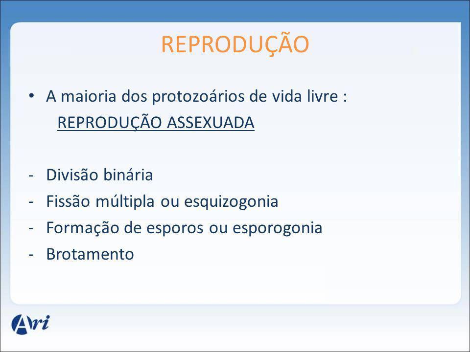 REPRODUÇÃO A maioria dos protozoários de vida livre : REPRODUÇÃO ASSEXUADA -Divisão binária -Fissão múltipla ou esquizogonia -Formação de esporos ou e
