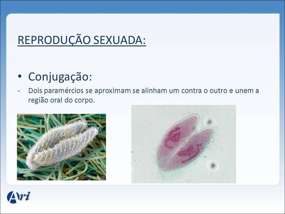 REPRODUÇÃO SEXUADA: Conjugação: -Dois paramércios se aproximam se alinham um contra o outro e unem a região oral do corpo.