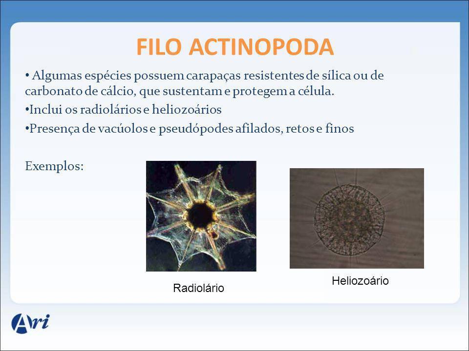 Algumas espécies possuem carapaças resistentes de sílica ou de carbonato de cálcio, que sustentam e protegem a célula. Inclui os radiolários e heliozo