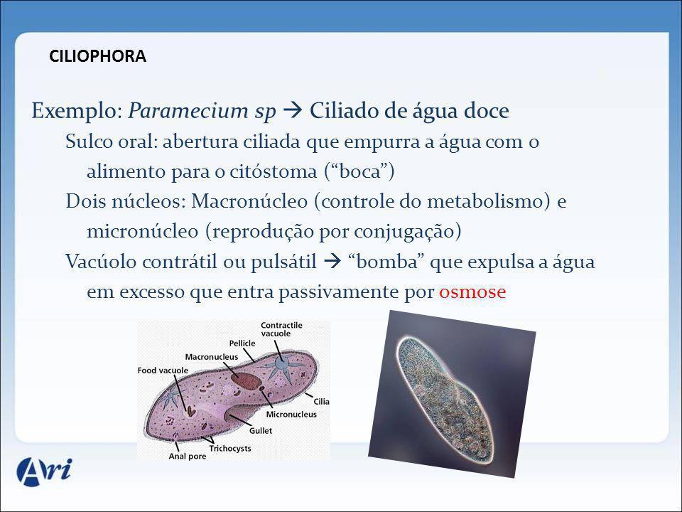 CILIOPHORA Exemplo: Paramecium sp Ciliado de água doce Sulco oral: abertura ciliada que empurra a água com o alimento para o citóstoma (boca) Dois núc