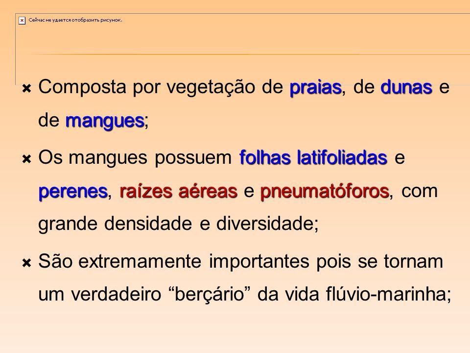 praiasdunas mangues Composta por vegetação de praias, de dunas e de mangues; folhas latifoliadas perenesraízes aéreas pneumatóforos Os mangues possuem folhas latifoliadas e perenes, raízes aéreas e pneumatóforos, com grande densidade e diversidade; São extremamente importantes pois se tornam um verdadeiro berçário da vida flúvio-marinha;