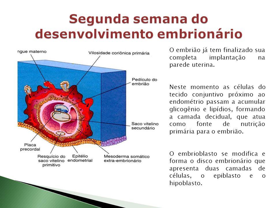 O embrião já tem finalizado sua completa implantação na parede uterina. Neste momento as células do tecido conjuntivo próximo ao endométrio passam a a