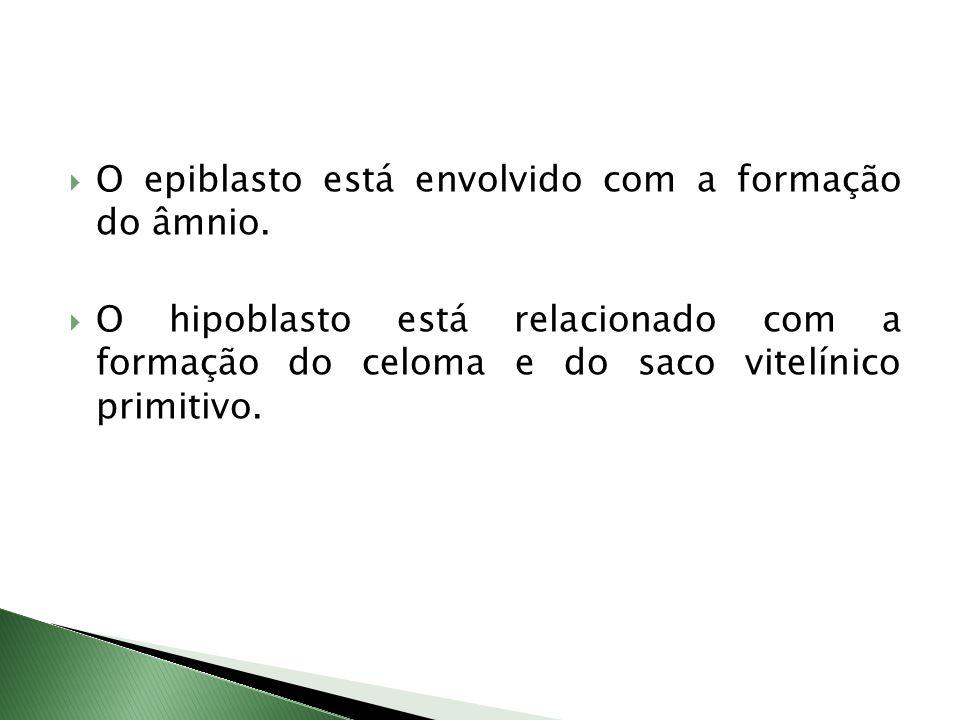 O epiblasto está envolvido com a formação do âmnio.