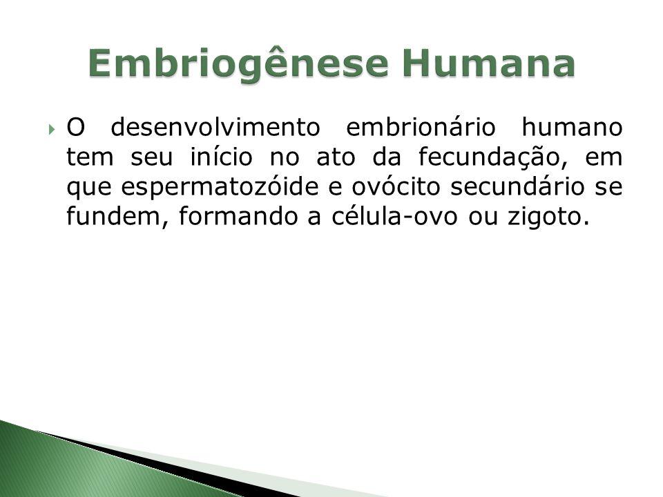 O desenvolvimento embrionário humano tem seu início no ato da fecundação, em que espermatozóide e ovócito secundário se fundem, formando a célula-ovo