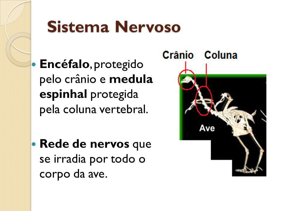 Sistema Nervoso Encéfalo, protegido pelo crânio e medula espinhal protegida pela coluna vertebral. Rede de nervos que se irradia por todo o corpo da a