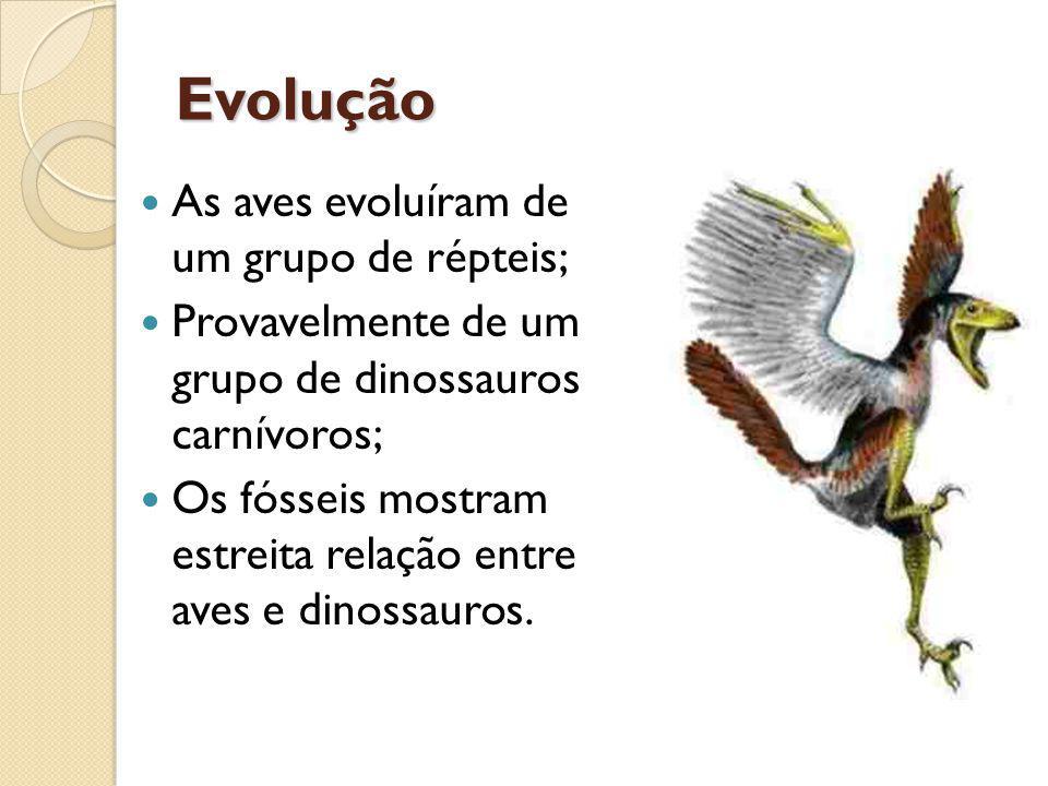 Evolução As aves evoluíram de um grupo de répteis; Provavelmente de um grupo de dinossauros carnívoros; Os fósseis mostram estreita relação entre aves