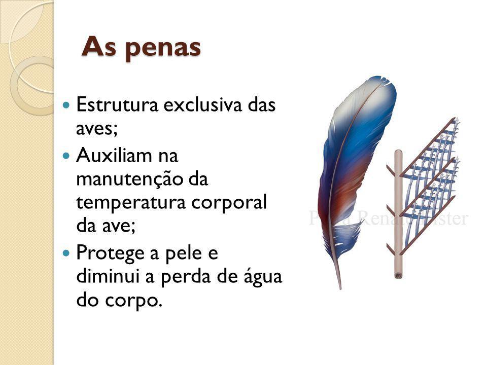 As penas Estrutura exclusiva das aves; Auxiliam na manutenção da temperatura corporal da ave; Protege a pele e diminui a perda de água do corpo.