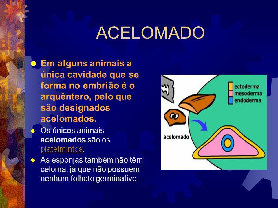 ACELOMADO Em alguns animais a única cavidade que se forma no embrião é o arquêntero, pelo que são designados acelomados. Os únicos animais acelomados