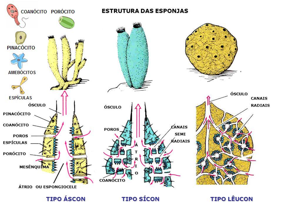 Estrutura e função Revestimento – pinacócitos Nutrição – coanócitos (intracelular), amebócitos (distribuição) Circulação, Excreção e Respiração – difu
