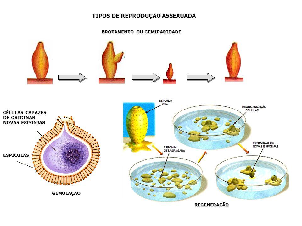 Reprodução assexuada Gêmula