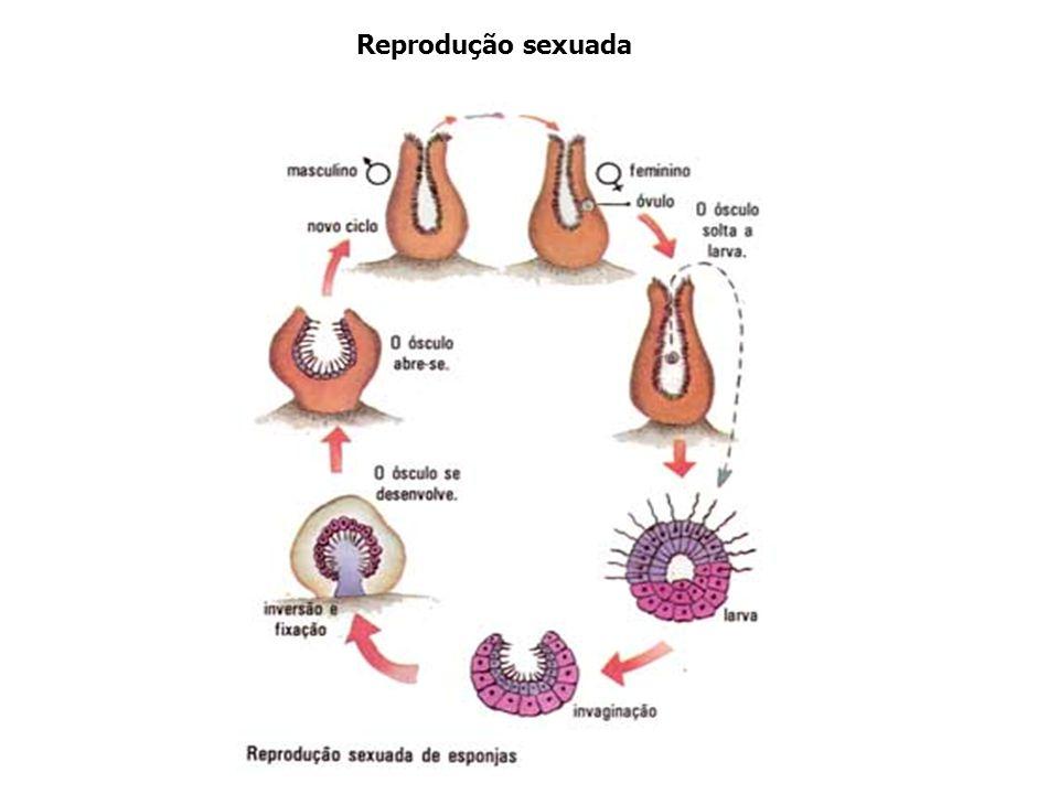 TIPOS DE REPRODUÇÃO ASSEXUADA BROTAMENTO OU GEMIPARIDADE CÉLULAS CAPAZES DE ORIGINAR NOVAS ESPONJAS ESPÍCULAS GEMULAÇÃO REGENERAÇÃO