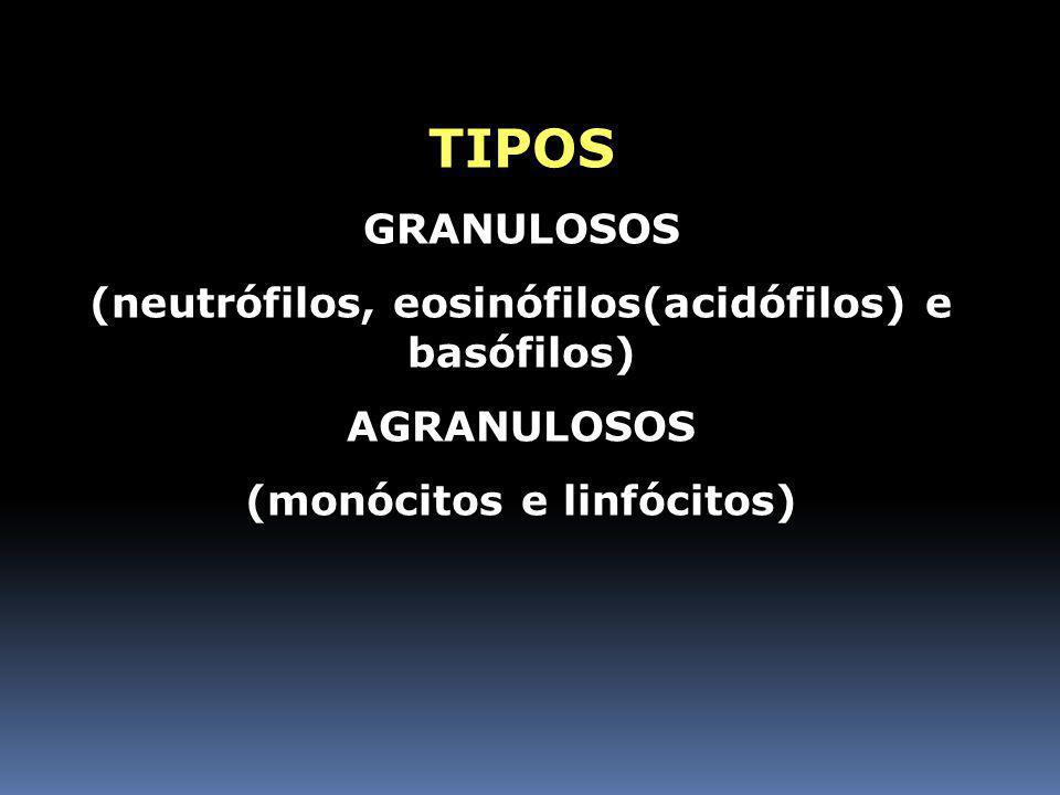 LEUCÓCITOS (GLÓBULOS BRANCOS) Esféricas e nucleadas Existem cerca entre 5 e 10 mil glóbulos brancos / mm 3 Atuam na defesa orgânica