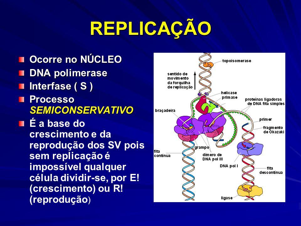 REPLICAÇÃO Ocorre no NÚCLEO DNA polimerase Interfase ( S ) Processo SEMICONSERVATIVO É a base do crescimento e da reprodução dos SV pois sem replicaçã