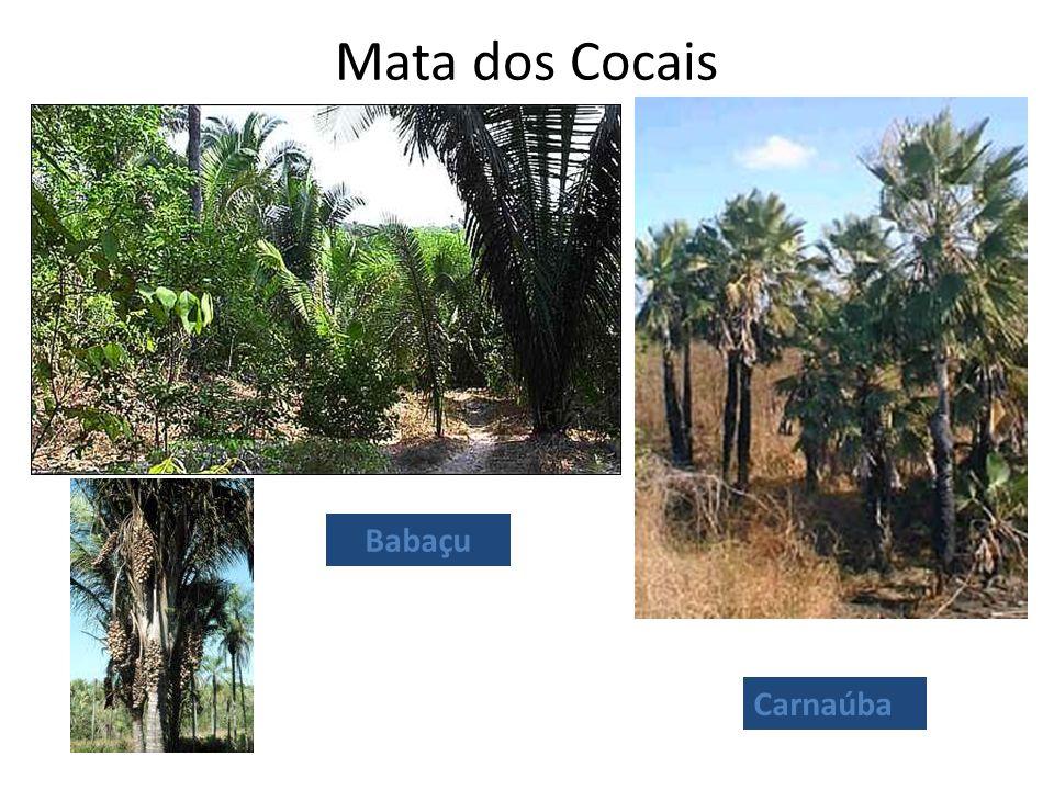 Mata dos Cocais Carnaúba Babaçu