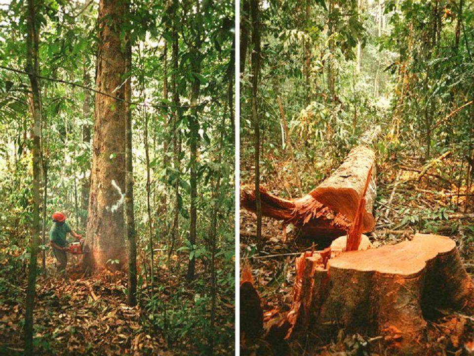 Floresta Amazônica - Mata de Várzea mata de inundação temporária, de composição vegetal variável.