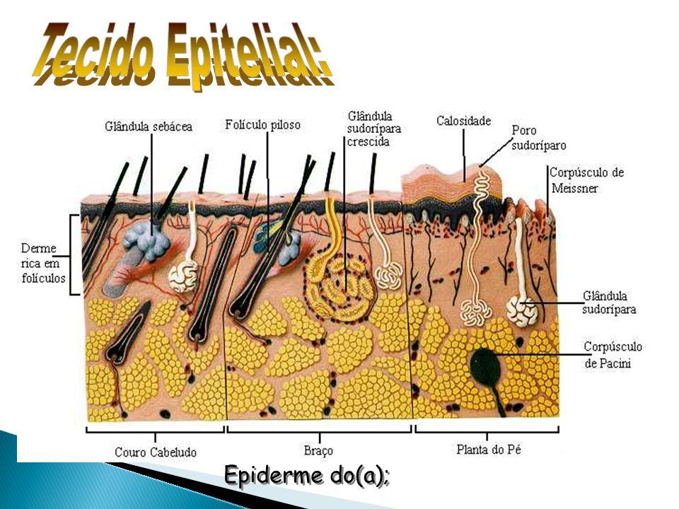 Epiderme do(a);