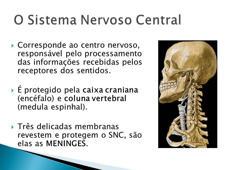Corresponde ao centro nervoso, responsável pelo processamento das informações recebidas pelos receptores dos sentidos. É protegido pela caixa craniana