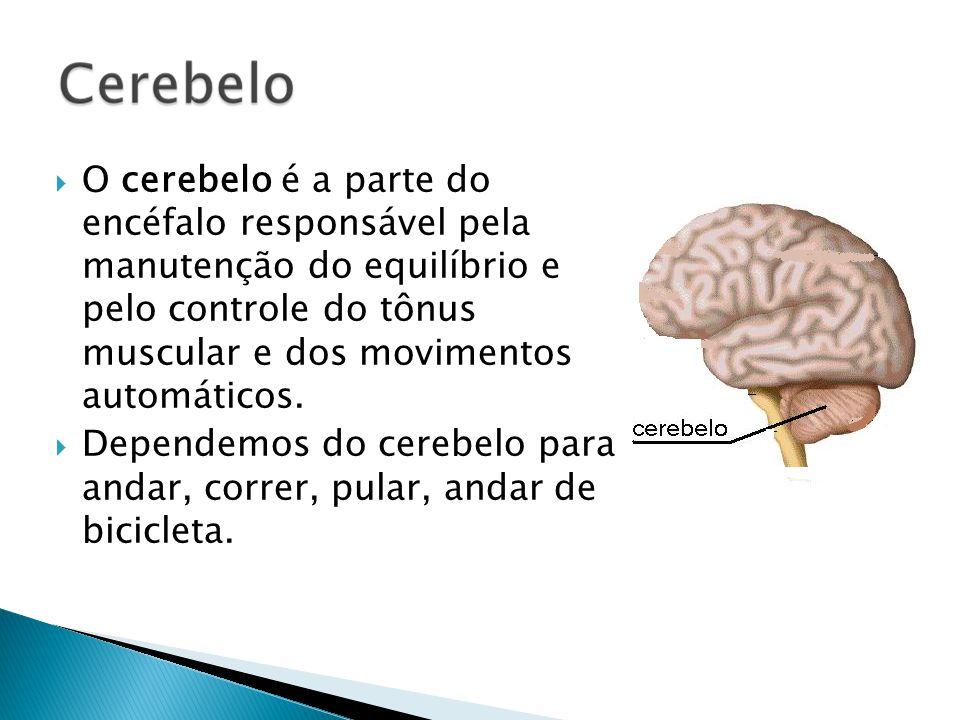 O cerebelo é a parte do encéfalo responsável pela manutenção do equilíbrio e pelo controle do tônus muscular e dos movimentos automáticos. Dependemos