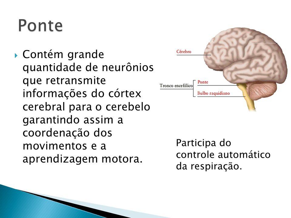 Contém grande quantidade de neurônios que retransmite informações do córtex cerebral para o cerebelo garantindo assim a coordenação dos movimentos e a