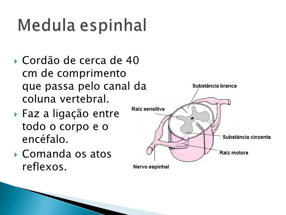 Cordão de cerca de 40 cm de comprimento que passa pelo canal da coluna vertebral. Faz a ligação entre todo o corpo e o encéfalo. Comanda os atos refle