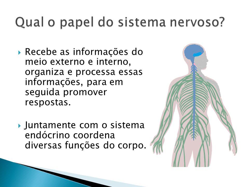 Recebe as informações do meio externo e interno, organiza e processa essas informações, para em seguida promover respostas. Juntamente com o sistema e