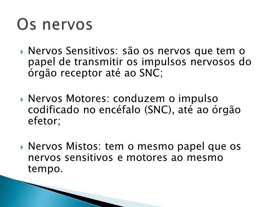 Nervos Sensitivos: são os nervos que tem o papel de transmitir os impulsos nervosos do órgão receptor até ao SNC; Nervos Motores: conduzem o impulso c