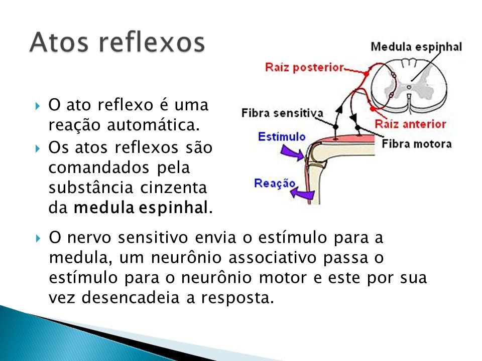 O ato reflexo é uma reação automática. Os atos reflexos são comandados pela substância cinzenta da medula espinhal. O nervo sensitivo envia o estímulo