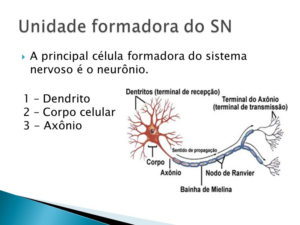 A principal célula formadora do sistema nervoso é o neurônio. 1 – Dendrito 2 – Corpo celular 3 - Axônio